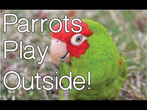 Parrots Play Outside – Queenie Poops on KC!