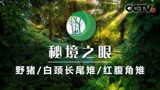 《秘境之眼》 野猪/白颈长尾雉/红腹角雉 20200602| CCTV