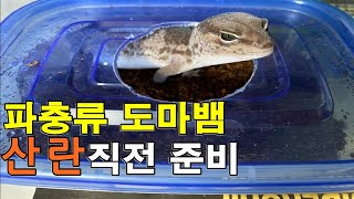 산란 직전 파충류 도마뱀은 어떻게 준비 해주면 될까 ?…