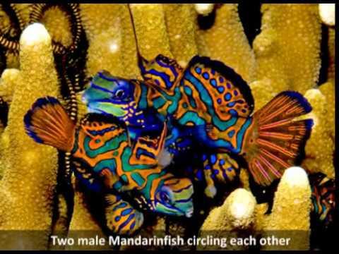Mandarinfish Spawning Photo Sequence by Paul Humann