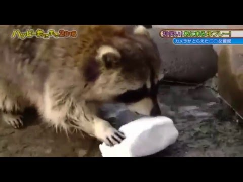 Raccoon eats cotton candy in the end!