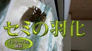 セミの羽化をインターバル撮影しました。 セミにピントが合わずカーテン...