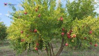 Թագավոր մրգի տիրության սահմաններն Արցախում Границы владения короля фруктов в Арцахе