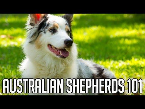 AUSTRALIAN SHEPHERDS | Right Dog For You?