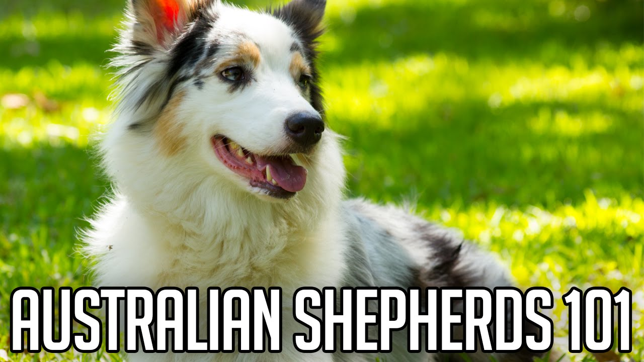 Australian shepherds right dog for you youtube