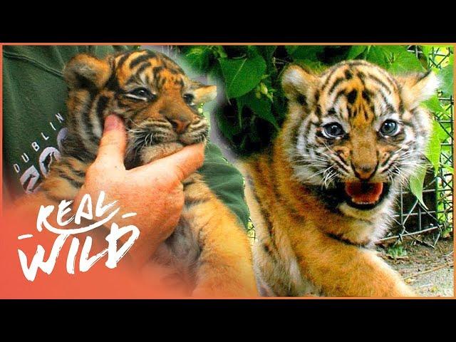 Sumatran Tiger Cubs From The Dublin Zoo | The Zoo | Real Wild