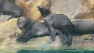 Как морские львы делают это - animal sex