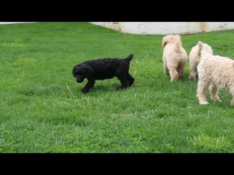 Standard Poodle Puppies For Sale