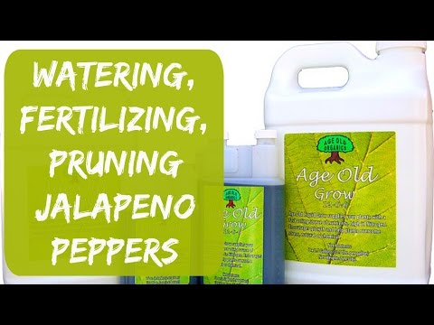 Watering, Fertilizing, Pruning – Container Jalapeno Peppers Update – Organic Gardening in Arizona