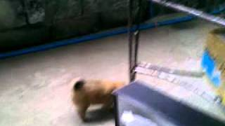 Pomeranian Stud Services - Carebear Of Gilcentburg