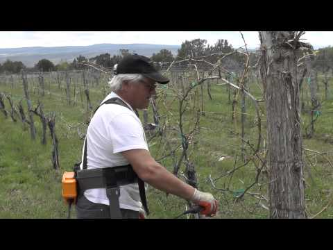 Pruning at the Vineyard, Leroux Creek Vineyards, Hotchkiss, CO