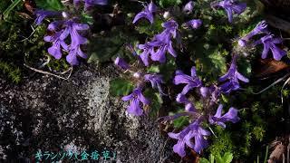 2018 04 19 1阿蘇市・二重峠(ふたえのとうげ)683mのキスミレ、ツクシシオガマ