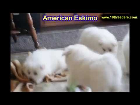 American Eskimo, Puppies, Dogs, For Sale, In Kansas City, Missouri, MO, 19Breeders, Springfield
