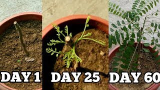 Right way to grow curry leaf plant from cuttings in November/December (with updates) thumbnail