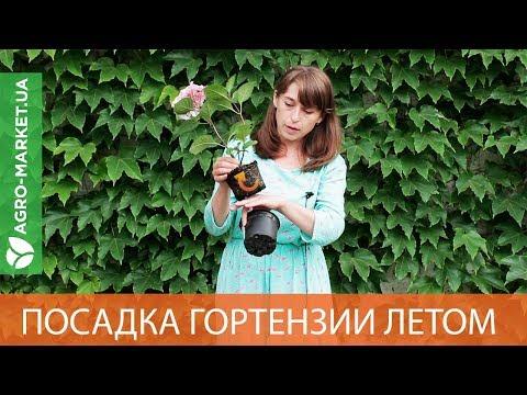 Можно ли высаживать гортензию летом? | Agro-Market.ua