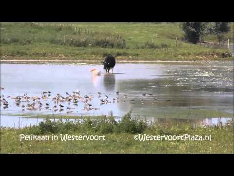 Vroege Vogels - Koe achtervolgt pelikaan
