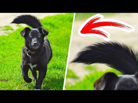 Убегайте, когда собака машет хвостом влево!