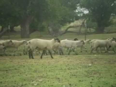 Suffolk Cross Ewe Lambs For Sale in Texas