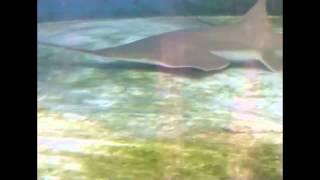 How a sawfish uses its saw