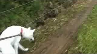 自作ステディカムを使用して紀州犬との散歩を撮影してみました。滑らか...