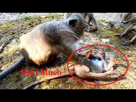 HeartBreaking! Why Old Monkey Tima beat her baby Monkey Timo Cry loudly, Pity Poor baby Monkey timo,