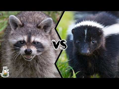 RACCOON VS SKUNK - What If These Two Animals Fight?