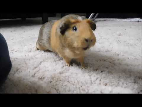VERY EXCITED GUINEA PIG! Funny Animal Videos
