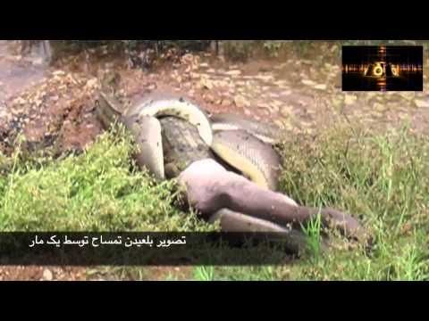 تصویر بلعیدن تمساح توسط مار