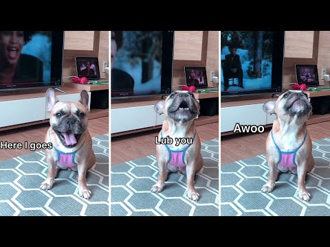 Small French Bulldog has a big voice| My Dog singing I Will Always Love You