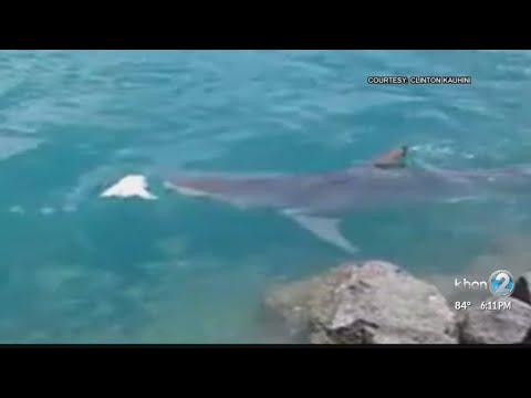 12-foot-long tiger shark in Honolulu Harbor