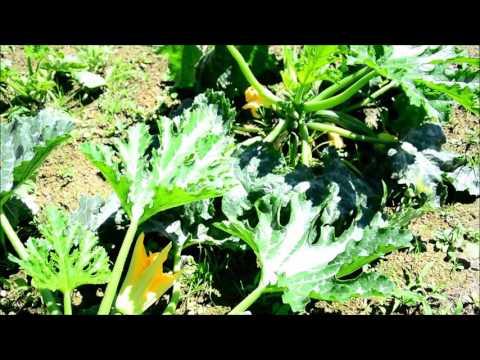 Kann Man Zucchini Roh Essen Oder Sind Sie Giftig Youtube