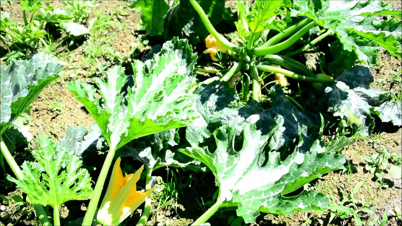 zucchini roh essen rezepte zucchini roh essen dieser. Black Bedroom Furniture Sets. Home Design Ideas