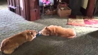 闘争心ゼロ。脱力系コーギー2匹による「やる気なき戦い」