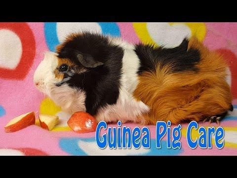 Guinea Pig Care - Requested