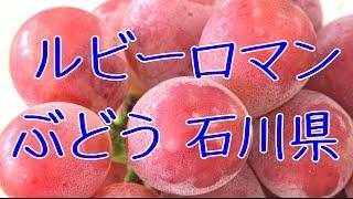 ルビーロマンぶどう 石川県産の葡萄。通販で販売の大粒で糖度18度以上の果物。Ruby Roman Japanese grapes.