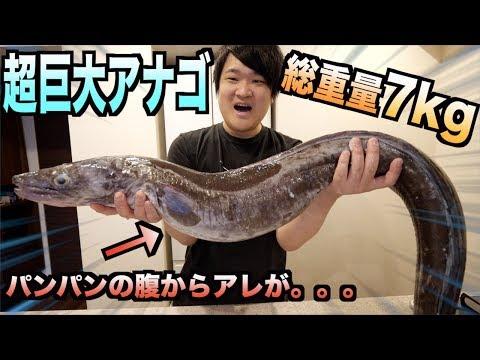 総重量7kg!!超巨大アナゴをさばいたら腹からエグいアレが出てきた!!