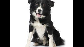 Бордер-Колли/Border Collie (порода собак HD slide show)!