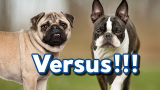 Common Health Issues In The Boston Terrier & Pug Dog Breeds