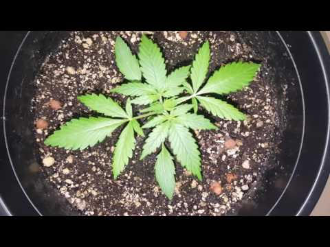 How To Grow AutoFlower Cannabis Tips & Tricks 101