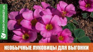 Необычные луковицы | Кислица | Камассия | Дракункулюс | Agro-Market.ua