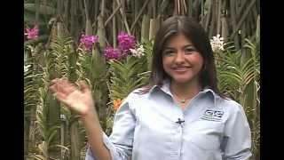 Azucena- Cattleya quadricolor