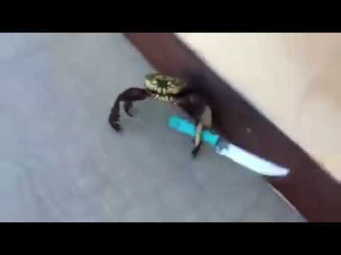 Crabe Avec Un Couteau un crabe menacant avec un couteau - youtube