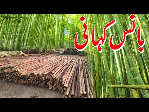 Pakistani Bamboo - PKG by Tauseef Sabih