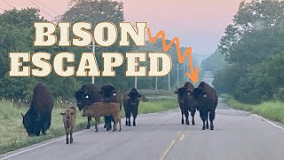 Entire Bison Herd Escaped!