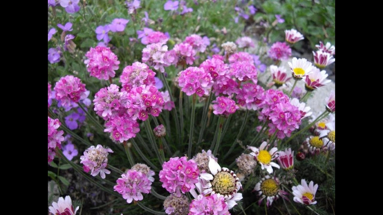 Amazing And Most Beautiful Armeria Flowers Ladys Cushion Youtube