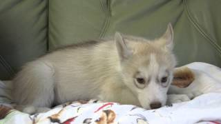 2013年3月18日生まれのシベリアンハスキーの子犬です。 http://wanboh.n...