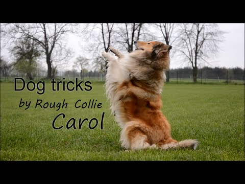 Dog tricks by Rough collie Carol