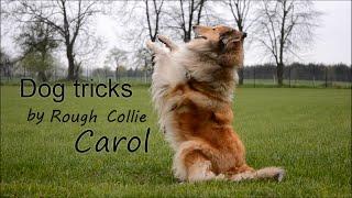 Dog tricks by Rough collie Carol