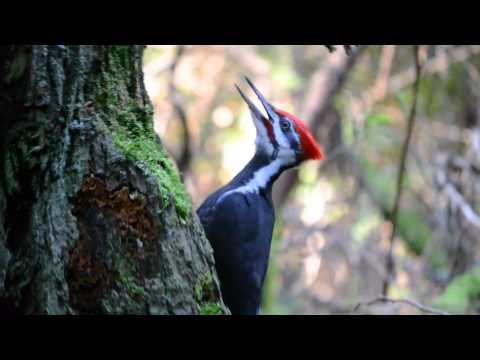 Pileated Woodpecker pecking and calling