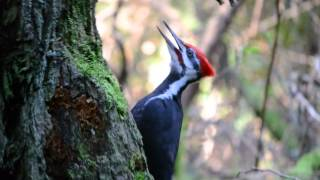 Video Pileated Woodpecker pecking and calling download MP3, 3GP, MP4, WEBM, AVI, FLV Oktober 2018